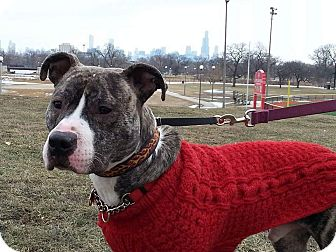 American Staffordshire Terrier/American Pit Bull Terrier Mix Dog for adoption in Chicago, Illinois - The Dude (courtesy listing)