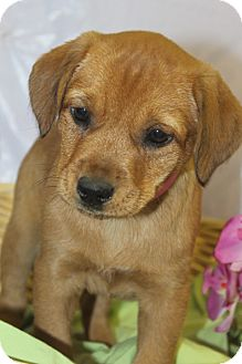 Labrador Retriever Mix Puppy for adoption in Waldorf, Maryland - Taylor