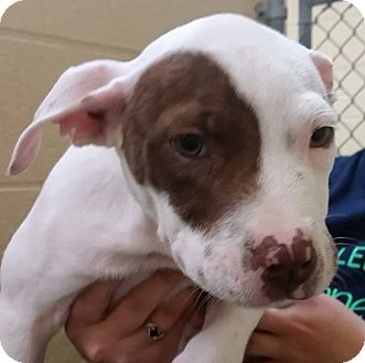Pit Bull Terrier Mix Puppy for adoption in Adrian, Michigan - Leia