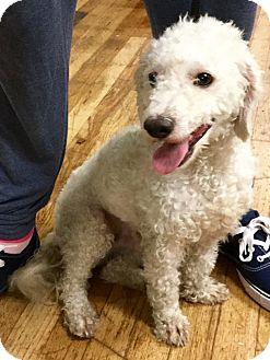 Bichon Frise/Poodle (Miniature) Mix Dog for adoption in Phoenix, Arizona - Arthur
