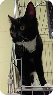 Domestic Shorthair Cat for adoption in Reisterstown, Maryland - Anastasia