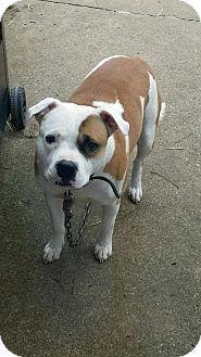 English Bulldog/Pit Bull Terrier Mix Dog for adoption in New Philadelphia, Ohio - Rocko