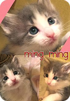 Domestic Mediumhair Kitten for adoption in Fort Worth, Texas - Ming Ming