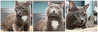 Domestic Mediumhair Cat for adoption in Forked River, New Jersey - Poco