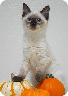 Domestic Mediumhair Kitten for adoption in Dublin, California - Stella