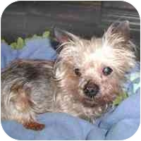 Yorkie, Yorkshire Terrier Mix Dog for adoption in Statewide and National, Texas - Help Griffin-TX