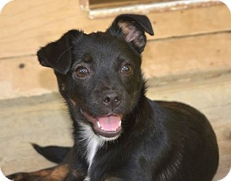 Miniature Pinscher/Chihuahua Mix Puppy for adoption in Morristown, New Jersey - Willow