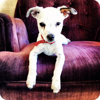 Italian Greyhound/Chihuahua Mix Dog for adoption in Speedway, Indiana - BUBBY (Bonded to Jenny)