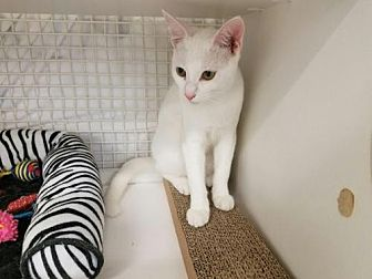 Domestic Shorthair Cat for adoption in St. Cloud, Florida - Marshmellow