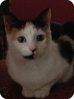 Calico Cat for adoption in Millersville, Maryland - Sky