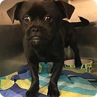 Adopt A Pet :: Robin - Austin, TX
