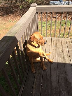 Coonhound (Unknown Type)/Retriever (Unknown Type) Mix Dog for adoption in Ellijay, Georgia - CHARLIE