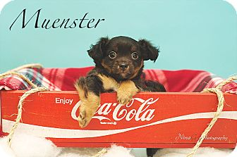 Chihuahua Mix Puppy for adoption in Michigan City, Indiana - Muenster