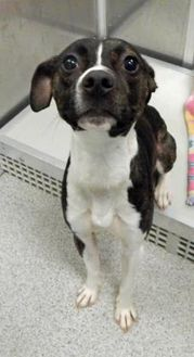 American Pit Bull Terrier Mix Dog for adoption in Vienna, Ohio - Chewy- Prison CCP