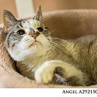 Adopt A Pet :: ANGEL - Reno, NV