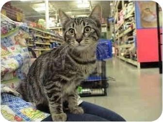 Domestic Shorthair Kitten for adoption in Yorba Linda, California - Tika and Mocha