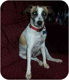 Jack Russell Terrier Dog for adoption in Thomasville, North Carolina - Rocky