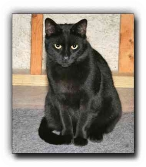 Domestic Shorthair Cat for adoption in Howell, Michigan - Evan