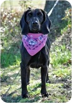 Labrador Retriever/Hound (Unknown Type) Mix Dog for adoption in Portsmouth, Rhode Island - Zia