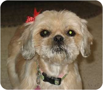 Shih Tzu Dog for adoption in Denver, Colorado - Lola