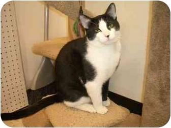 Domestic Shorthair Cat for adoption in Scottsdale, Arizona - Ziggy