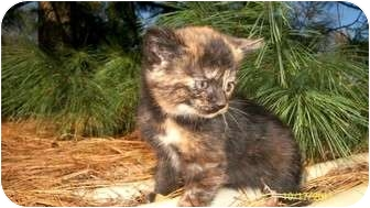 Calico Kitten for adoption in Kendallville, Indiana - Kitty girl 1