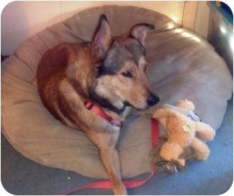 German Shepherd Dog/Husky Mix Dog for adoption in White Settlement, Texas - Dexter