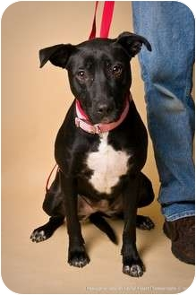 American Pit Bull Terrier Mix Dog for adoption in Crookston, Minnesota - Janie