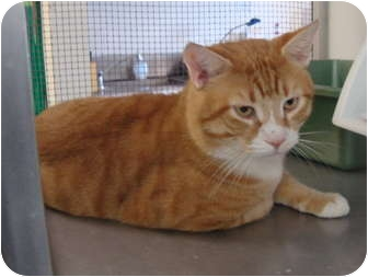 American Shorthair Cat for adoption in Winter Haven, Florida - Garfield