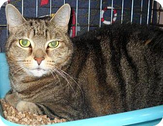 Domestic Shorthair Cat for adoption in Gloucester, Massachusetts - Samantha