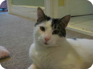 Domestic Shorthair Cat for adoption in bloomfield, New Jersey - Giuesppe