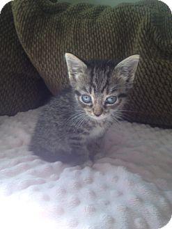 Domestic Mediumhair Kitten for adoption in Island Park, New York - Cinnamon