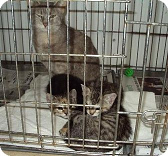 Domestic Mediumhair Cat for adoption in Mt. Vernon, Illinois - Mom and 1 babe