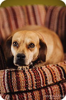 Rhodesian Ridgeback/Labrador Retriever Mix Dog for adoption in Portland, Oregon - Gabby