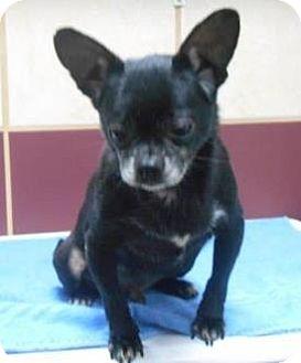 French Bulldog/Chihuahua Mix Dog for adoption in Bartonsville, Pennsylvania - Sebastian