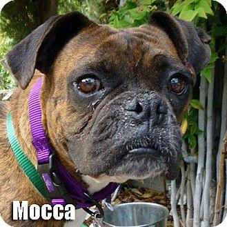 Boxer Dog for adoption in Encino, California - Mocca