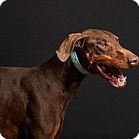 Adopt A Pet :: Gunner - Sun Valley, CA
