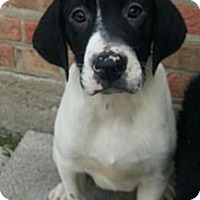 Adopt A Pet :: Jagger - Chicago, IL
