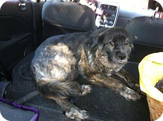 Retriever (Unknown Type)/Labrador Retriever Mix Dog for adoption in waterbury, Connecticut - Sweety