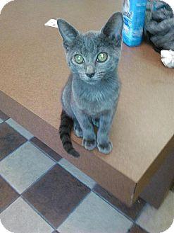 Russian Blue Kitten for adoption in Tampa, Florida - Floki