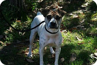 Jack Russell Terrier/Shar Pei Mix Dog for adoption in Jackson, New Jersey - Checkers