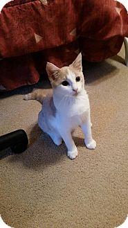 Domestic Shorthair Cat for adoption in Lilburn, Georgia - Toby