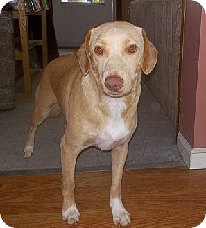 Labrador Retriever Mix Dog for adoption in Williston, Vermont - Romeo
