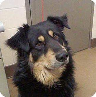 Shepherd (Unknown Type)/Australian Shepherd Mix Dog for adoption in Las Vegas, Nevada - Cody