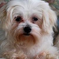 Adopt A Pet :: Elsie/Maltese Mix - Jacksonville, FL