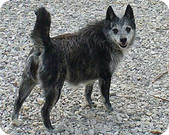 Keeshond Mix Dog for adoption in Newburgh, Indiana - Penny  Sponsored!!