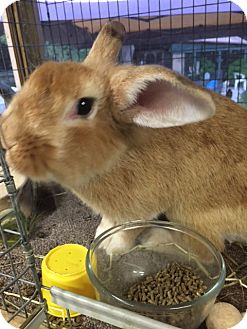 Lionhead Mix for adoption in Williston, Florida - Quimby