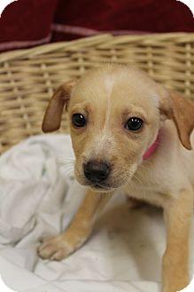 Labrador Retriever Mix Puppy for adoption in Waldorf, Maryland - Alice