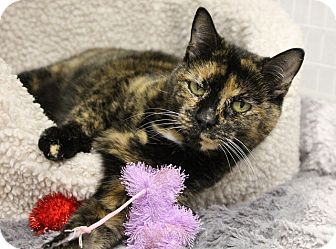 Domestic Shorthair Cat for adoption in Medfield, Massachusetts - Clarice