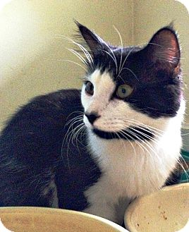 Domestic Longhair Cat for adoption in Eden, North Carolina - Blackbeard
